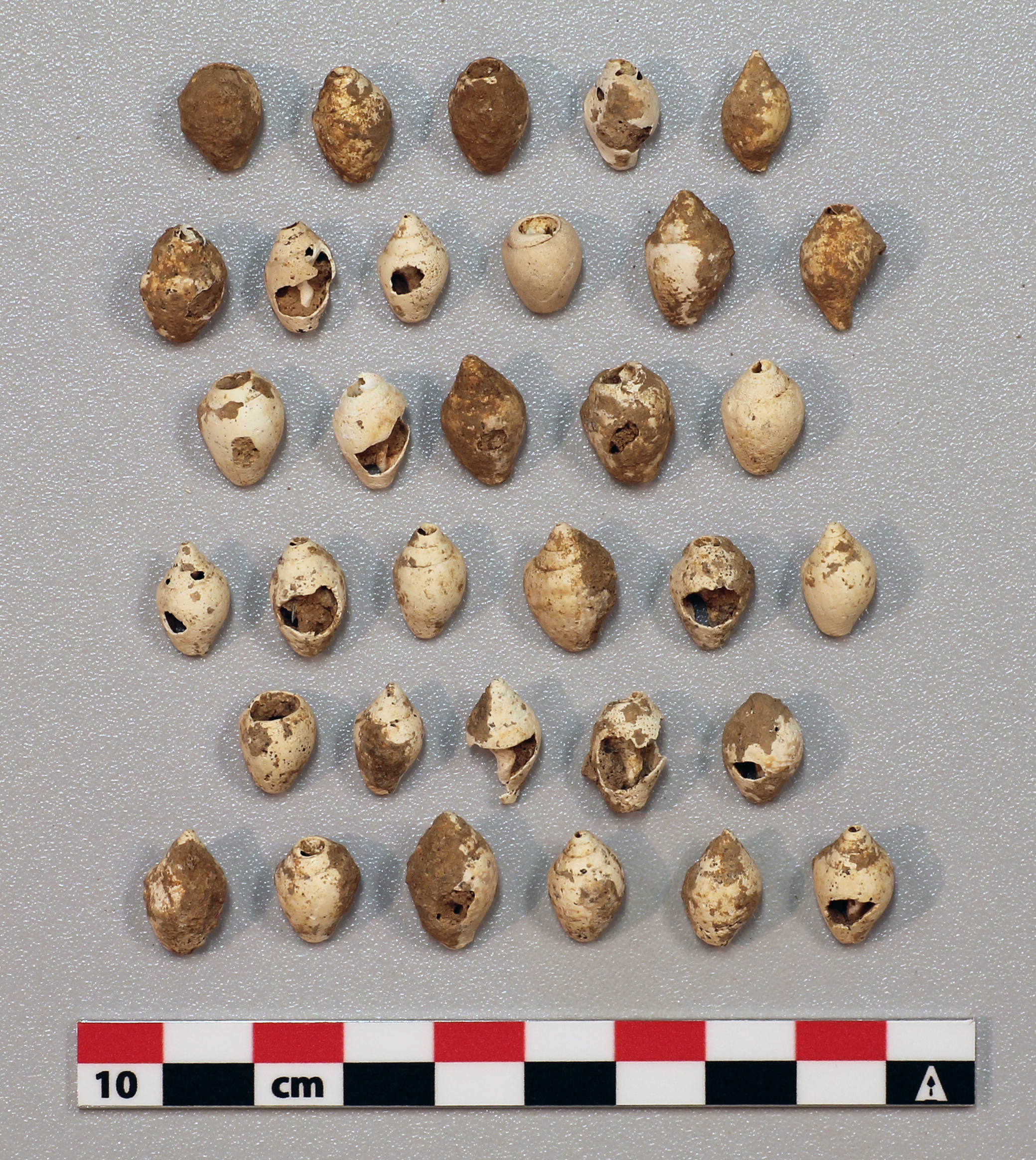 The Upper Paleolithic inhabitants of Sefunim Cave (Israel) collected shells from the Mediterranean coastline to use as ornaments.